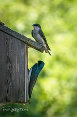swift house 2 (imagebyTerri) Tags: swift birds couple bokeh wood nature two green blue imagebyterri