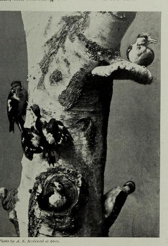 This image is taken from Page 511 of The living animals of the world : a popular natural history an interesting description of beasts, birds, fishes, reptiles, insects, etc., with authentic anecdotes