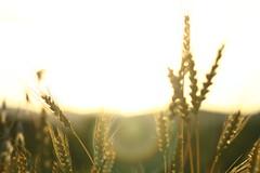IMG_3976 (Cristian Marchi) Tags: tramonto frumento sunset wheat ears levnoc 443 helios 58mm