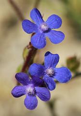 Italian Bugloss (Wild Chroma) Tags: flora spain boraginales anchusa azurea anchusaazurea bugloss boraginaceae
