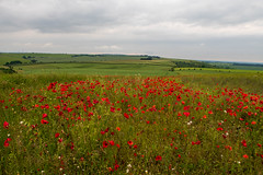 Poppies on the downs (Charles DP Miller) Tags: hampshire poppies england kingscleredowns places kingsclere basingstoke unitedkingdom