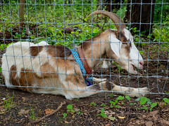 Sleeping on the Job (Mildred Alpern) Tags: goat outdoors riversidepark nyc