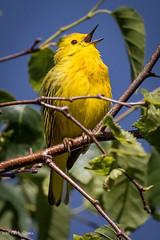 Yellow Warbler (C7D3402) (matxutca (cindy)) Tags: redbuttegarden saltlakecity slc utah wings perched bird yellowwarbler yellow warbler outdoors nature