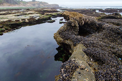 Low Tide (marinereserves) Tags: mussels tidepool marine ocean pacific pacificocean seashore beach rocky shoreline otterrock protectedarea otterrockstatepark