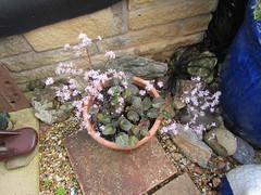Thalictrum kiusianum (wallygrom) Tags: england westsussex eastpreston mygarden mygarden2019 june2019