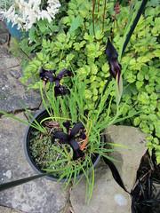 Iris chrysographes (wallygrom) Tags: england westsussex eastpreston mygarden mygarden2019 june2019
