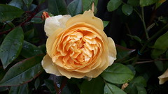 Yellow Rose (wallygrom) Tags: england westsussex eastpreston willowhayne fostersclose