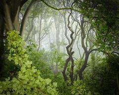 Magical Woodland (Mark Heslington Photography) Tags: red woodland magical mystical fog mist pine oak landscape scarborough north yorkshire england uk united kingdom