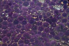 Urchins (marinereserves) Tags: invertebrate urchin tidepool lowtide tide tidal ocean shore seashore rockyheadland rockyshoreline newportoregon newport oregon oregoncoast purple