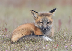 1190-1sm (torriejonvik) Tags: animal fox red kit grass wildflowers posing pretty washington state pacific northwest
