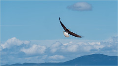 the hunter (marneejill) Tags: eagle soaring above clouds flight blue sky french creek bc canada freedom