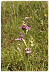 Bee orchid (Ophrys apifera) (Englepip) Tags: beeorchid hampshire meadow flower plant pink ophrysapifera