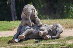 Mkhaya and Zuli (ToddLahman) Tags: mkhaya zuli umzulazuli ndula escondido eyelock elephants elephantvalley elephant elephantbaby africanelephant closeup sandiegozoosafaripark safaripark nikond500 nikonphotography nikon outdoors mammal portrait photooftheday photography profileheadshot photographer
