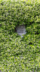 Trachelospermum jasminoides (wallygrom) Tags: england westsussex eastpreston willowhayne pigeonhouselane