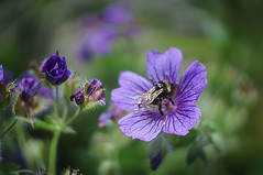 AmPro f1.6/2in 16mm Stylist Projector lens #309 in M39 focusing mount (Blythehill) Tags: ampro projectionlens flora geraniumrozanne cranesbill bumblebee