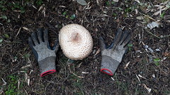 Giant mushroom (wallygrom) Tags: england westsussex eastpreston willowhayne pigeonhouselane