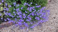 Geranium (wallygrom) Tags: england westsussex eastpreston willowhayne pigeonhouselane