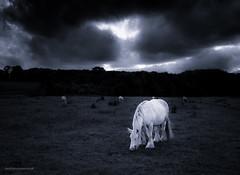Steed dreams (toniertl) Tags: horse nag charger steed mount glory knightonawhitehorse imagination unreality fairytale legend dobbin carthorse monochrome blackandwhite bw