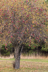 Unpicked Fruit (brendatharp) Tags: autumn scene nobody landscape tree season nature orchard keewenaw nopeople upper apple fruit vertical peninsula fall