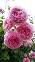 Rose 'James Galway' (wallygrom) Tags: england westsussex eastpreston willowhayne pigeonhouselane