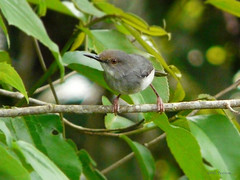 Long-billed Forest Warbler Artisornis m. moreaui (nik.borrow) Tags: bird warbler amani