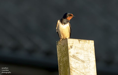 Juvenile Swallow (jonathancoombes) Tags: swallow house marton swift bird uk summer nature wildlife explore