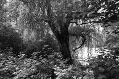 Central Park North (Joe Josephs: 3,166,284 views - thank you) Tags: centralpark landscapephotography nyc newyorkcity centralparkconservancy centralparkphotography citypark foliage lushfoliage newyorkcitytravel outdoorphotography park urbanpark tree woods bw blackandwhite monochrome