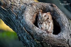 Petit duc !! (Philou73couz) Tags: canada monregardsurlanature philippedebruyne printemps quebec petit duc owl wildlife nature screech