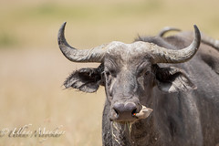 African Buffalo with Oxpecker (mayekarulhas) Tags: narok riftvalleyprovince kenya buffalo masaimara wildlife wild safari photo oxpecker