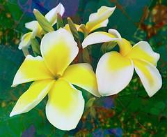 Frangipani Flowers (scilit) Tags: flowers white yellow petals frangipani plumeria exotic tropical tree bush whitestar perfume scent natureinfocusgroup flowerarebeautiful thebestofmimamorsgroups magicmomentsinyourlifelevel3 macro flora magicmomentsinyourlifelevel4