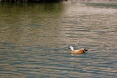 Nature Reserve, Sandos San Blas Hotel, Tenerife, Canary Islands (wildhareuk) Tags: bird canaryislands canon canoneos500d duck lake spain tamron18270mm tenerife tenerife2019 water naturereserve tamron img9586dxo