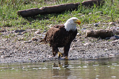 Bald Eagle In River Water (jimmy.stewart40) Tags: wildlife eagle baldeagle beak white outdoors raptor yellow beautyinnature nature