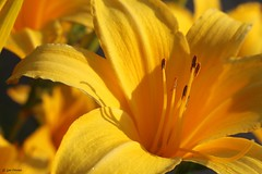 Sunny (Gay Foster) Tags: lily yellow macro stamen detail bright sun diagonal gay gaynell foster canon