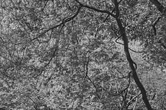 Through The Trees (Modkuse) Tags: monochrome bw blackandwhite trees nature natural art artphotography photoart fineartphotography fineart fujifilm fujifilmxt2 xt2 fujinon acros acrossimulation xt2acros fujifilmxt2acrossimulation fujinonxf55200mmf3548rlmois xf55200mmf3548rlmois naturalabstract