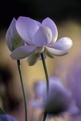 D85_5216s (An Xiao) Tags: lotus aquaticgarden