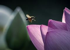 D85_5248s (An Xiao) Tags: lotus aquaticgarden