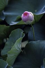 D85_5291s (An Xiao) Tags: lotus aquaticgarden