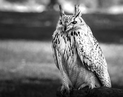 02469376422538-113-19-06-Duchess the Siberian Eagle Owl-14-Black and White (You have failed me for the last time Jim) Tags: park bird animal june nevada bouldercity 2019 canon5dmarkiv tamronsp150600mmf563divcusdg2 siberianeagleowl
