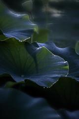 D85_5231s (An Xiao) Tags: lotus aquaticgarden