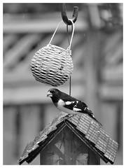 Rose-Breasted Grosbeak (karma (Karen)) Tags: baltimore maryland home backyard birds rosebreastedgrosbeak fences dof bokeh mono bw hww hbw hmbt hff