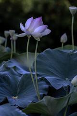 D85_5193s (An Xiao) Tags: lotus aquaticgarden