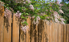 Cascading lilacs...HFF! (wessexman...(Mike)) Tags: hff fence lilac