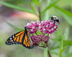 Pollinators (jerryherman1) Tags: nature nikond500 nikor200500f56 northtract patuxentnationalwildliferefuge monarch butterfly bumblebee maryland pollinators