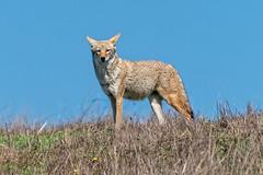 Standing Tall (lennycarl08) Tags: coyote pointreyesnationalseashore pointreyes northerncalifornia animalplanet wildlife