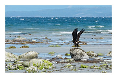 the beach on a windy day (marneejill) Tags: bald eagle wings stormy beach ocean salish sea french creek bc daytime rocky