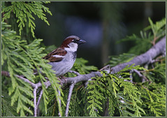 House Sparrow (robinlamb1) Tags: nature outdoor animal bird sparrow housesparrow passerdomesticus cedar tree cedartree
