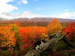 posando (mnovela2293) Tags: bosque lengasotoño gato árbolesforesta colores tierra delfuego findelmundo ushuaia américadelsurargentina patagonia