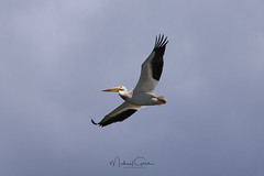 Pelican In Flight (NikonDigifan) Tags: pelican birdwatching bird nature naturephotography animal wildlife wildlifephotography washington wildliferefuge turnbullnationalwildliferefuge pacificnorthwest nikond500 nikon nikon20050056 mikegassphotography