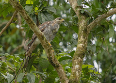 20190614 Gray Hawk (rudygarns) Tags: jun14 costarica