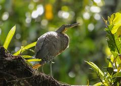 20190614 Tiger Heron (rudygarns) Tags: jun14 costarica